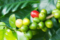 Coffee berries tree with ripe and raw on the branch Stock Images