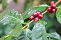Coffee berry Royalty Free Stock Photo