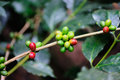 Coffee branch Stock Image