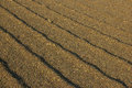 Coffee drying at the sun almost dried coffe grains Stock Image