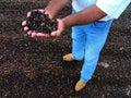 Coffee Harvest in Brazil Royalty Free Stock Photo