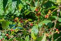 Coffee plant with beans ready for harvest Royalty Free Stock Photo