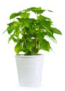 Coffee plant in a pot isolated on white background Stock Image
