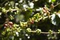 Coffee Plantation, Boquete, Pa...