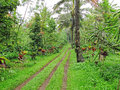 Coffee plantation a in the east of java indonesia Stock Photography