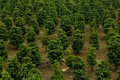 Coffee plantation field in south east of brazil Stock Photos