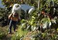Coffee plantation Guatemala 23 Royalty Free Stock Photo