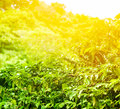 Coffee plantation sunny background Royalty Free Stock Photo