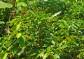 Coffee plants Stock Images