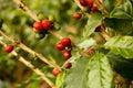 Café plantas en maduro