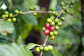 Coffee tree with bean Stock Photos