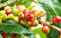 Coffee tree with berries Stock Photo