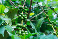 Coffee tree with green coffee beans on the branch Royalty Free Stock Photo