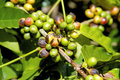 Coffee tree with ripe berries on farm Royalty Free Stock Photos
