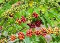 Coffee tree with ripe berries on farm Stock Image