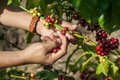 Coffee tree with ripe berries on hands Royalty Free Stock Photos