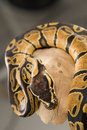 Coiled Ball Python on Log Stock Photos