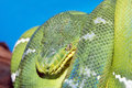 Coiled green boa snake Royalty Free Stock Photo