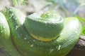 Coiled green snake sunning itself on a branch Royalty Free Stock Photo