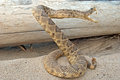 Coiled rattle snake by old log weathered in sand Royalty Free Stock Photo