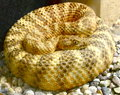 Coiled snake a heavily patterned and textured Stock Image