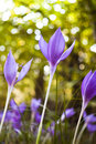 Colchicum autumnale flowers Royalty Free Stock Image