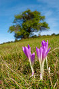 Colchicum flowers of the field Stock Images