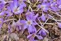 Colchicum Water Lily Colchicum speciosum