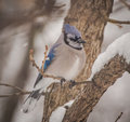 Cold bluejay braves snowy day Royalty Free Stock Image
