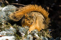 Cold Fox Squirrel Royalty Free Stock Photos