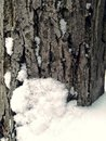 Frozen tree and snow. winter. bark and snowflakes Royalty Free Stock Photo