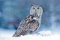Cold winter with rare bird. Big Eastern Siberian Eagle Owl, Bubo bubo sibiricus, sitting on hillock with snow in the forest. Birch