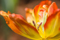 Coldup Red and Yellow Colored Tulip Flower Royalty Free Stock Photo