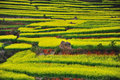 Cole flower terrace, China Royalty Free Stock Photo