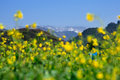 Cole flowers in early spring rape in full bloom spring is in the air life force the distant mountains still covered with snow Stock Photos
