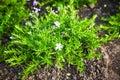 Coleonema Album Blooming Bush ...