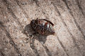 Coleoptera on cement floor close up Royalty Free Stock Photography