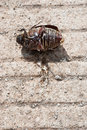 Coleoptera on cement floor close up Royalty Free Stock Image