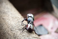 Coleoptera fighting on wood Royalty Free Stock Photo