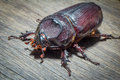 Coleoptera native to the rain forests Stock Image