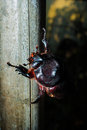 Coleoptera native to the rain forests Stock Photo