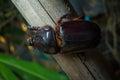 Coleoptera Royalty Free Stock Photo