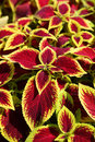 Coleus flower Royalty Free Stock Photography