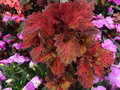 Coleus indian summer solenostemon hybrida indian summer cultivar with multicolour large leaves with mosaic of red green and Royalty Free Stock Images