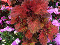 Coleus indian summer solenostemon hybrida indian summer cultivar with multicolour large leaves with mosaic of red green and Stock Photo