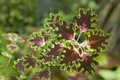 Coleus Inky Fingers Stock Photography
