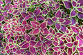 Coleus Leaves Royalty Free Stock Photos