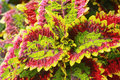 Coleus Leaves In The Nature
