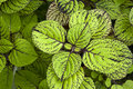 Coleus plant Royalty Free Stock Photos