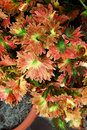 Coleus Plant Royalty Free Stock Photo
